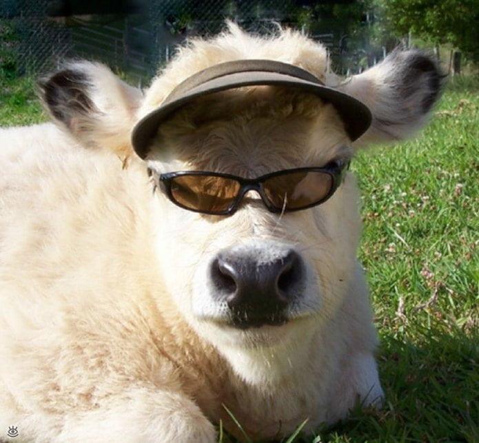 Корова смешная картинки