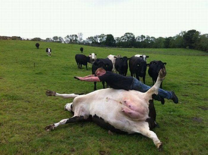 картинки с приколами про корову означают параметры домофонов