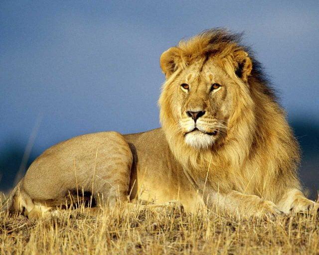 Красивые картинки львы на рабочий стол (35 фото) 🔥 Прикольные ... | 512x640