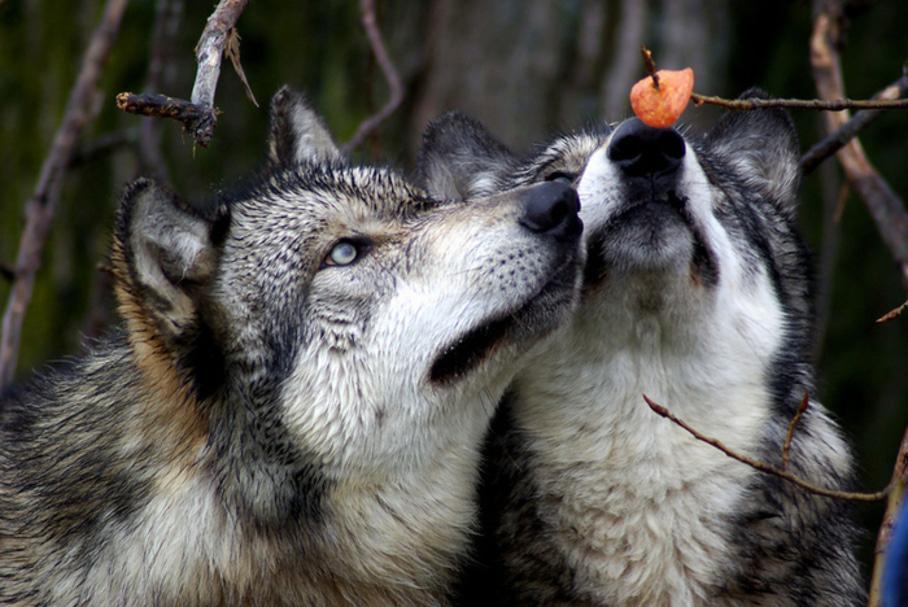 обломов делает картинки преданности волков любят