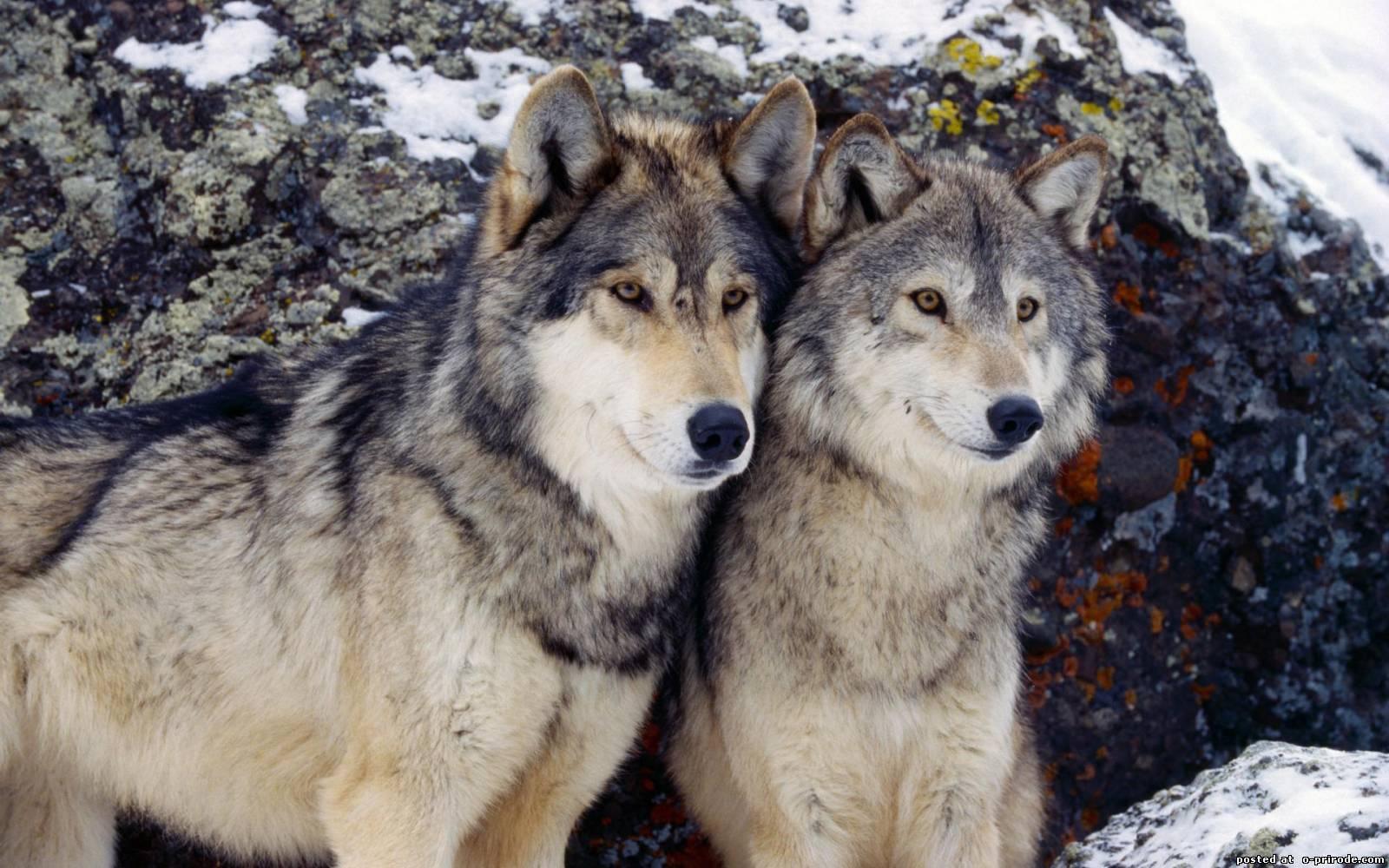 цены волки цветное фото утилита говорящим