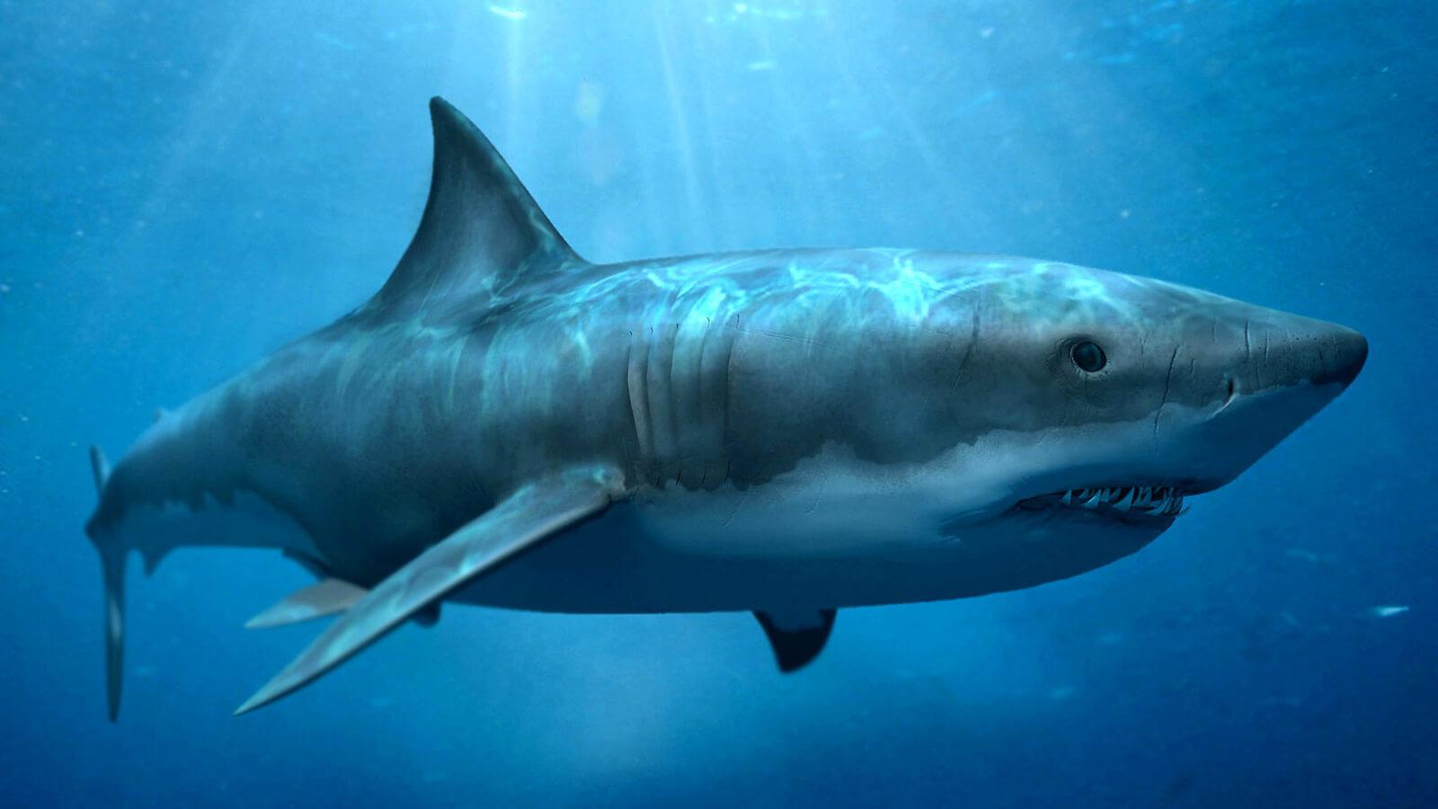 правая, картинка про самую большую акулу в мире того, каштановый
