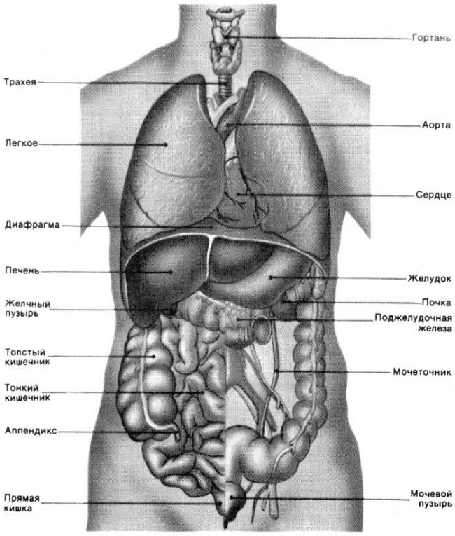 Органы у человека картинки
