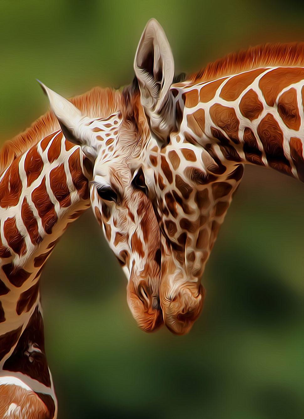 Красивые жирафики картинки
