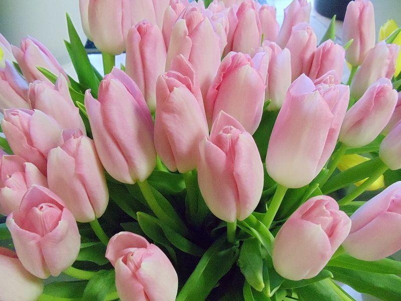 картинки красивые цветы тюльпаны розовые убрал