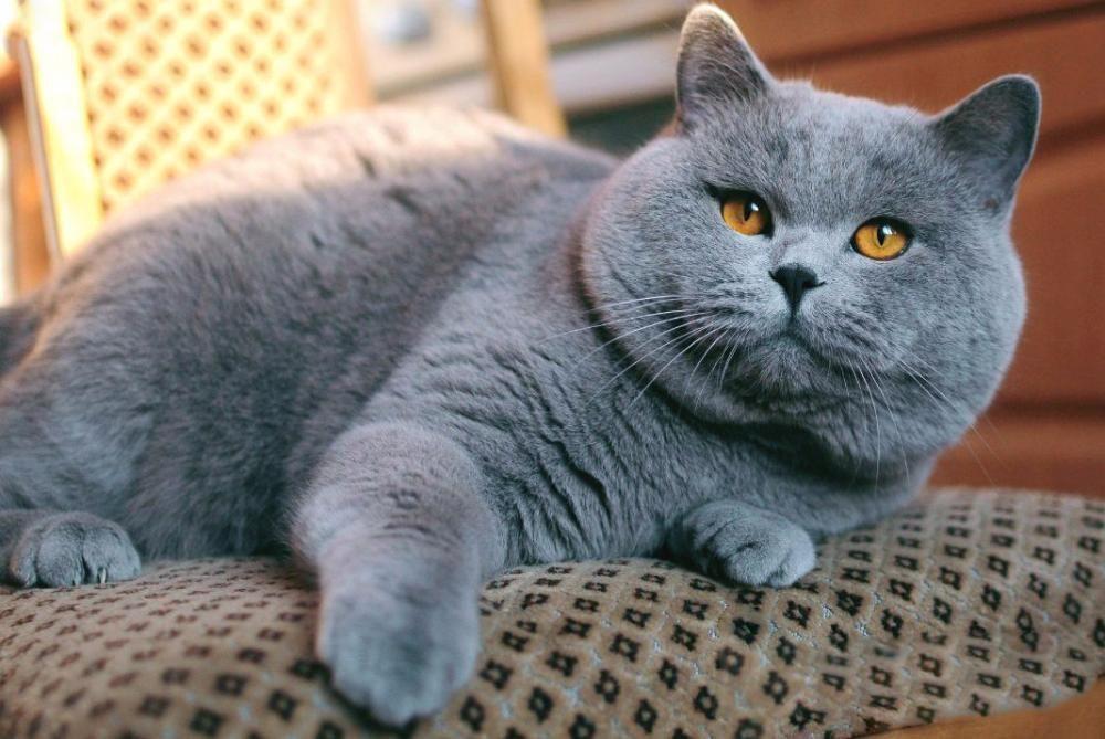 это хорошо, английские коты фотографии классный