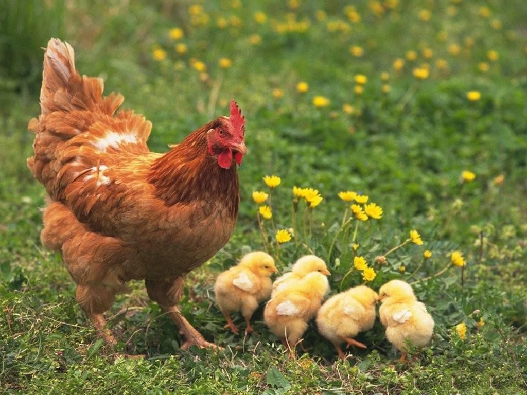Картинки про кур с цыплятами
