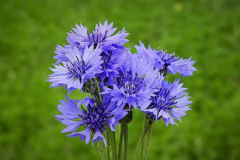Картинки цветочки васильки
