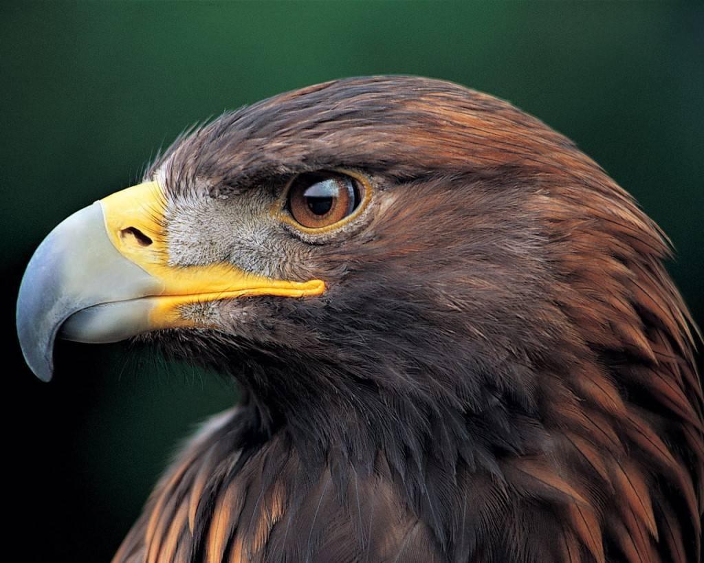 Картинки как выглядит орел