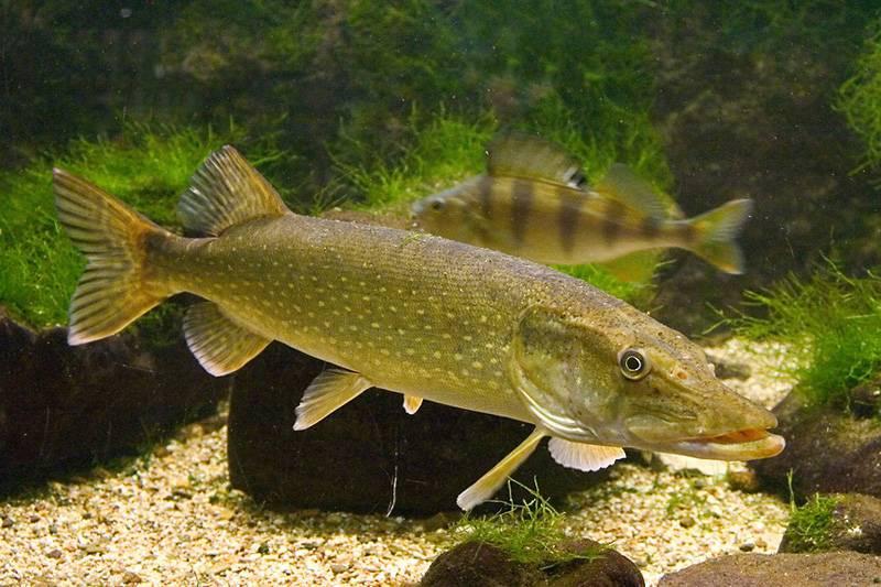 оказалось, многие речная пресноводная рыба фото замечательно подойдет для