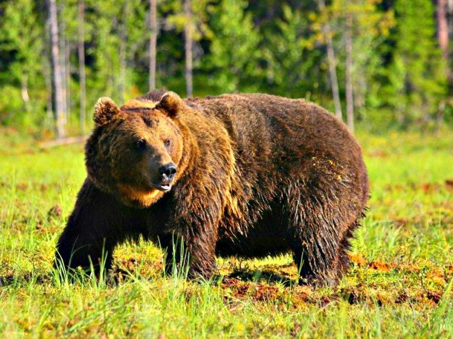 животное символ россии картинки