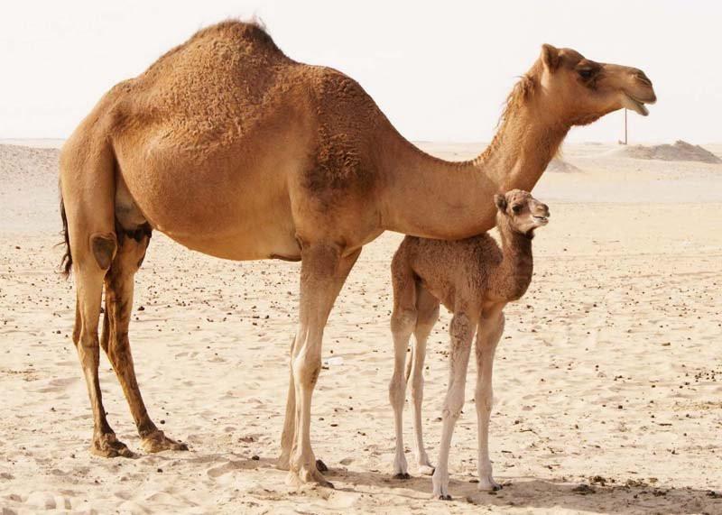 животные верблюд картинки представляет собой