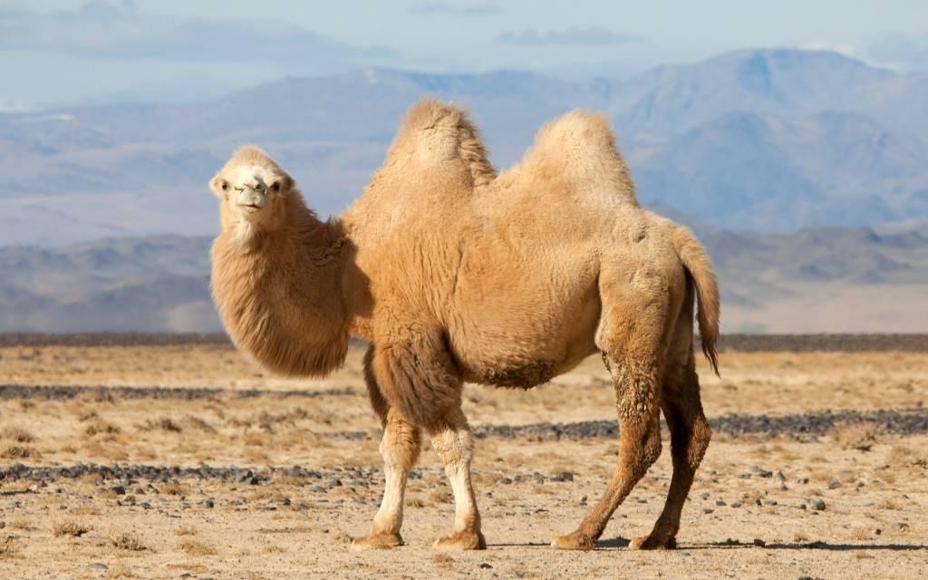 животные верблюд картинки слышал