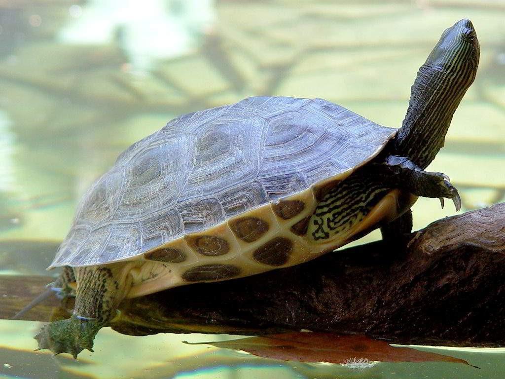 это совсем фото водоплавающих черепах раннего