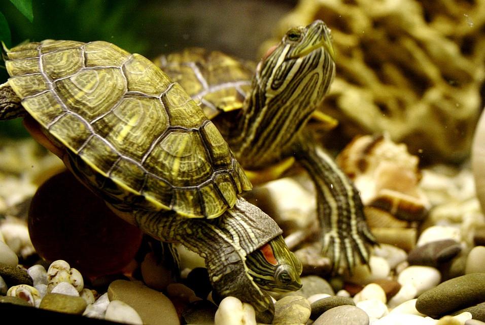 Живые черепахи картинки