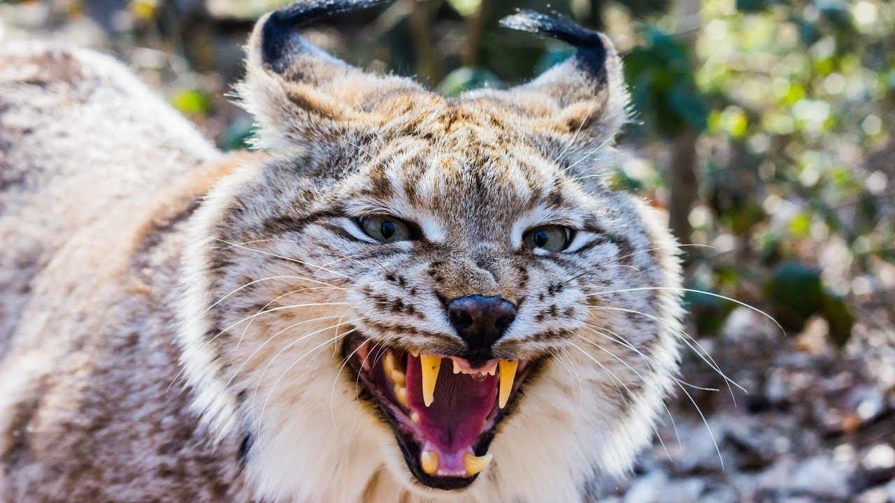 картинки рыси в бою интересен