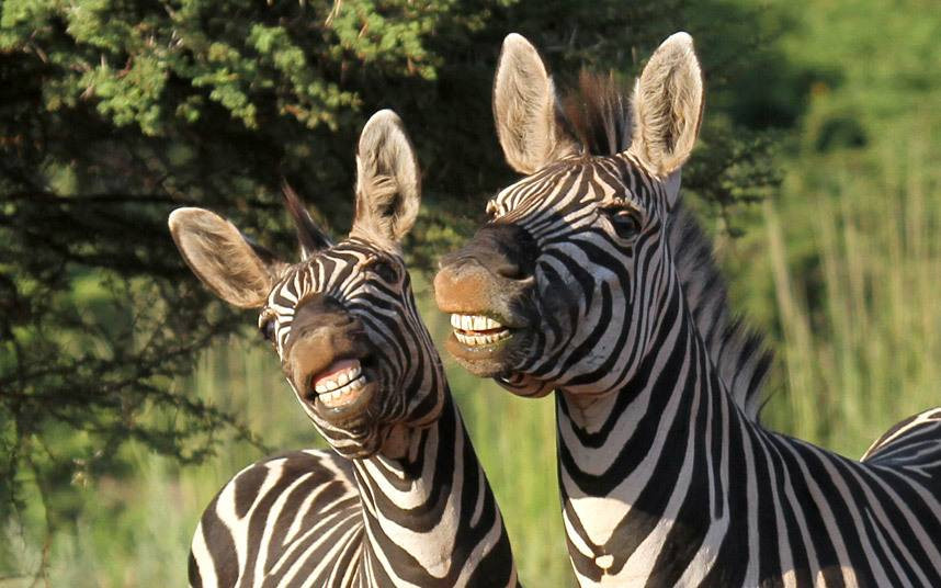 место или смешные картинки про зебру почти