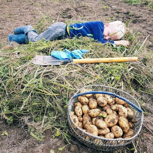 Днем, уборка картошки веселые картинки