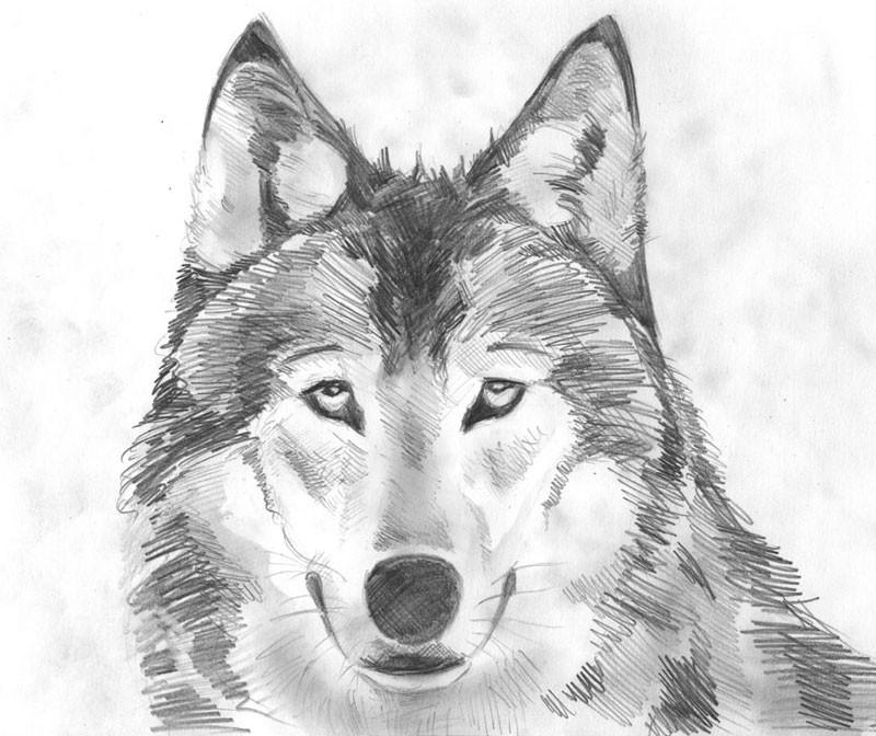 Для юбилея, картинки волка карандашом прикольные