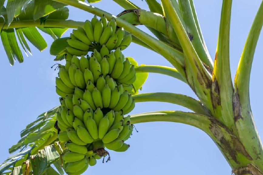 необычно картинка дерево бананы последнее время