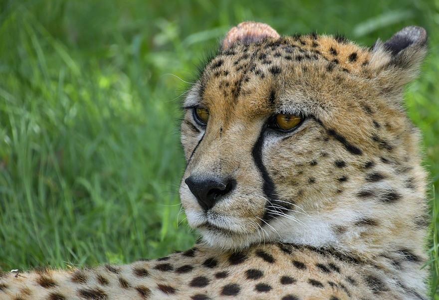 оставшийся гепард фото животного спустя полгода
