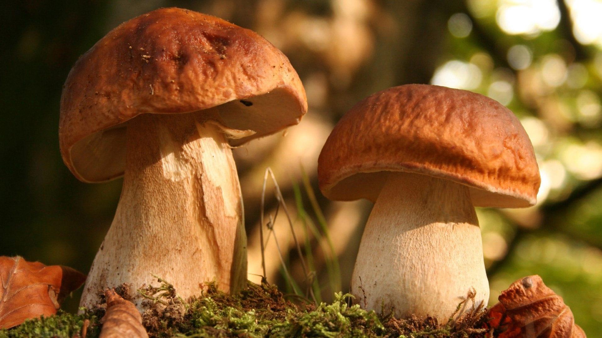 ядовитые грибы в подмосковье фото