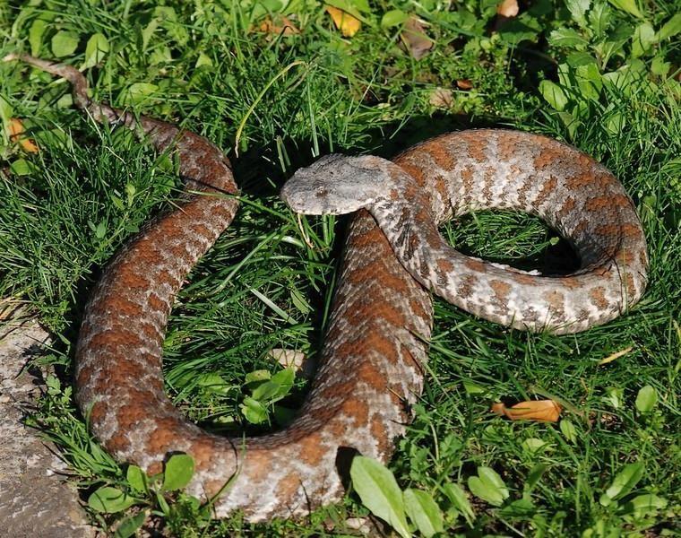 Фотки змея гюрза