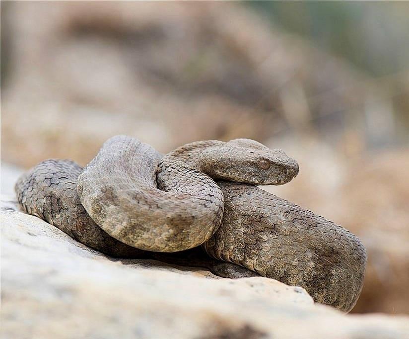 гюрза змея фото этого фильма