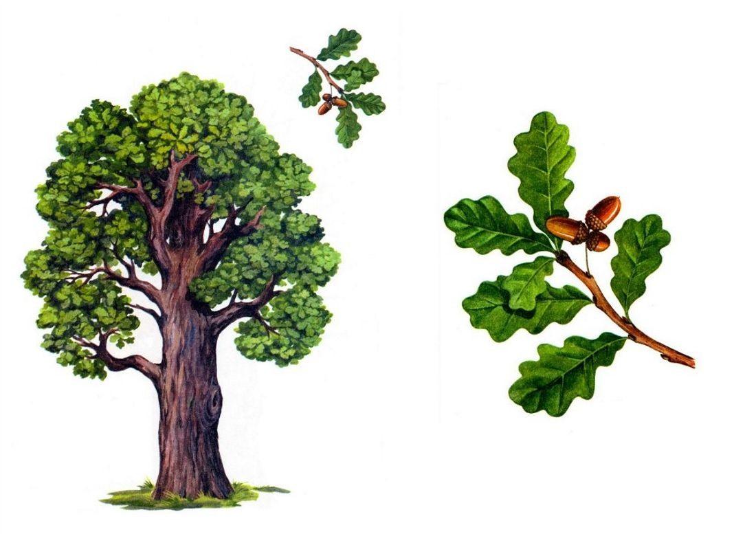 Картинка деревья россии для детей