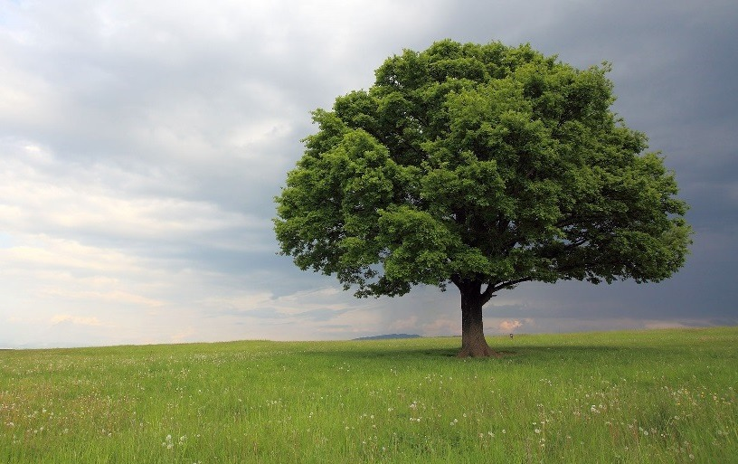 Картинки деревья дубы