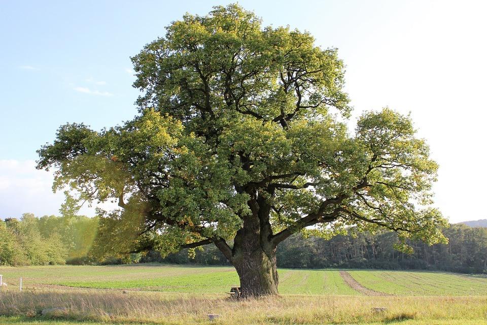 получается вкусным, фотографии дерева дуба аватарка