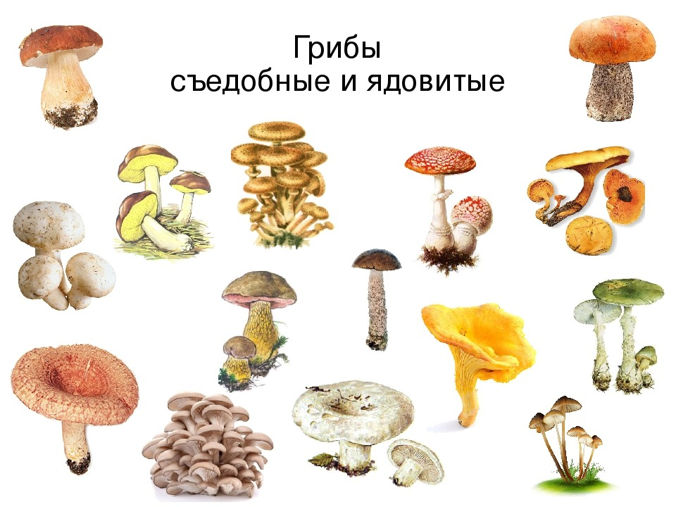 строчки грибы съедобные и несъедобные
